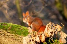 Eichhörnchen Sitzt Auf Ast Mi...