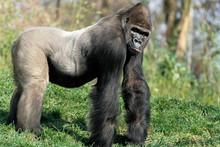 Western Gorilla (Gorilla Goril...