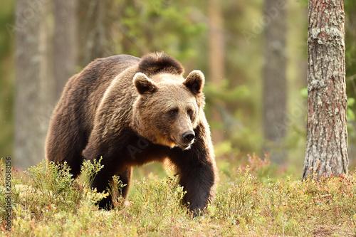male brown bear in forest landscape