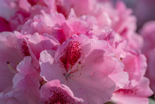 Close Up Of A Dense Group Of Soft Pink Rhododendron Flowers