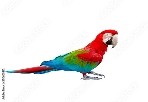 Obraz side view full body of scarlet ,red macaw bird standing isolated white background - fototapety do salonu