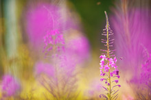 Bumblebee On Fireweed (Chamaen...