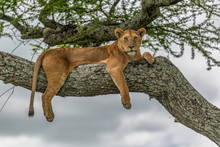 Lioness Resting High Up In A T...
