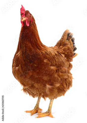 Fotobehang Kip Young brown hen isolated on white background.