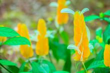 Beautiful Yellow Lollipop (Pac...