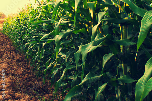 Aluminium Prints Culture corn field with sunrise