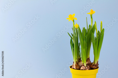 Fototapeta Young spring narcissus flowers in pot on pastel blue background, symbol of the b