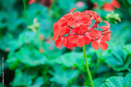 Red zonal geranium (Pelargonium zonale) flower with green leaves background. Pelargonium zonale, known as horse-shoe pelargonium or wildemalva, a wild species of Pelargonium native to southern Africa.
