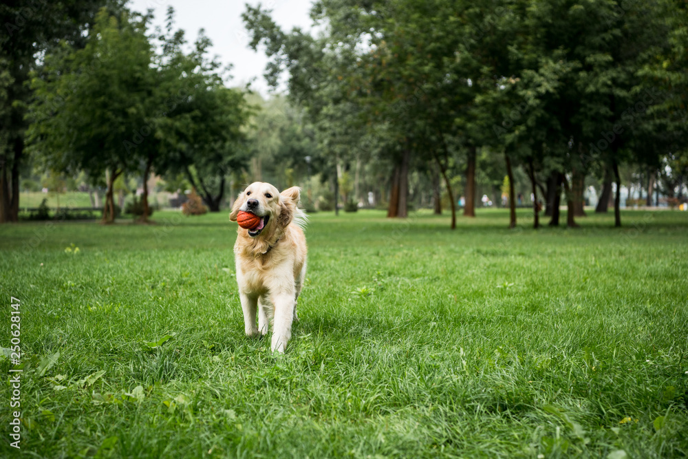 Fototapeta golden retriever dog playing with rubber ball in park