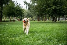 Golden Retriever Dog Playing With Rubber Ball In Park