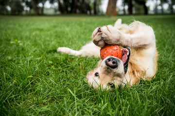 Fototapetaselective focus of golden retriever dog playing with rubber ball on green lawn