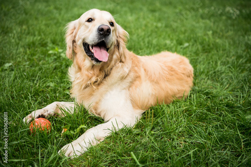 adorable golden retriever dog lying on green lawn in park Poster Mural XXL
