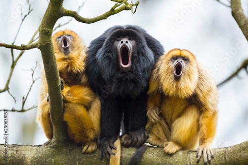Photo sur Toile Singe BLACK HOWLER (Alouatta caraya)