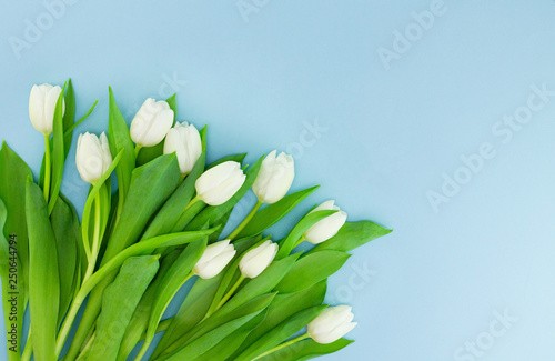 Fototapeta White gentle tulips on blue background. Holiday spring concept, International women day, Mother's Day obraz na płótnie