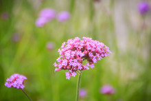 Beautiful Purple Flower Of Ver...