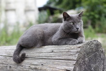 серый красивый кот лежит на бревне летом. Gray Beautiful Cat Lies On A Log In The Summer