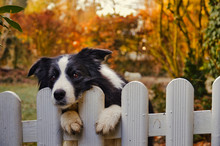 Cute Black And White Border Collie Dog Waiting Alone Behind White Fence In Garden.