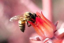 Bee On Pink Flower At UNAM Bot...