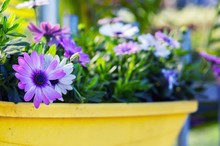 Purple African Daisy Flowers A...
