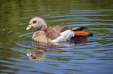 Profile Of Egyptian Goose (Alo...