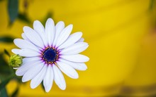 White Trailing African Daisy Flower On Yellow Background