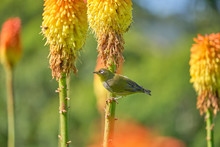 Cape White-eye (Zosterops Virens V.capensis) Sitting On A Red Hot Poker Flower, With Blurry Background With More Flowers