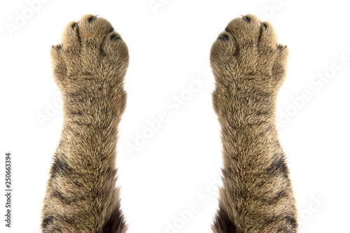 Fotografie, Tablou cat paws on white background