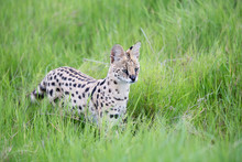 Serval Cat In The Grassland Of...