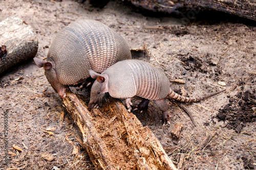 Photo Armadillo Mother and Baby