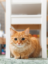 Cute Ginger Cat Is Hiding Unde...
