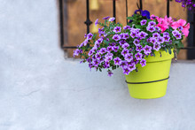 Purple Petunia Flowers At A Flowerpot