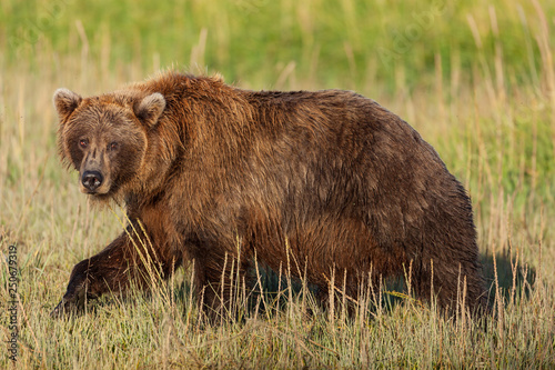 Photo Alaskan brown bear in Lake Clark National Park