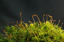 Macro Shot Of Growing Moss