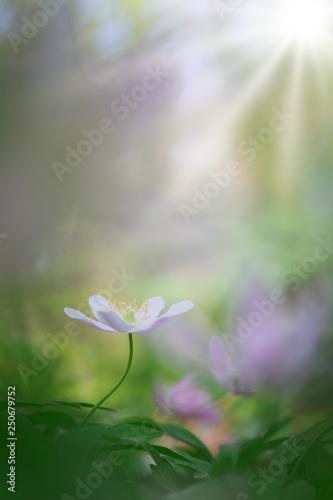 Fotografía  Single white wood anemone in pristine dreamy spring forest