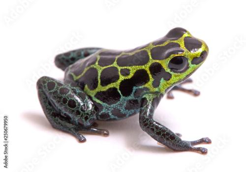 Photographie Small poison dart or arrow frog, Ranitomeya variabilis