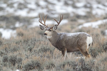 Mule Deer Buck In Late Autumn During The Rut In Wyoming