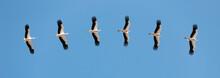 Storks Flying In Blue Sky