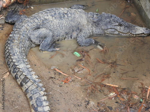 Photo  Large and old crocodiles in the process of training in the pavilion, Thailand