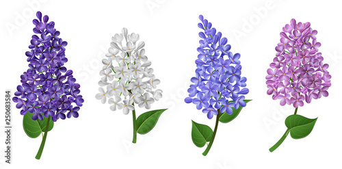Lilac flower in different color like pink, white, blue and purple, with green leaf. Vector illustration for spring, Easter or Mother's day design, isolated on white