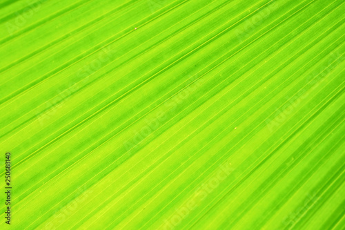Close-up and long exposure effect of green fan palm leaf on blurred motion under sunlight in the morning, abstract of greenery nature background, for use wallpaper and backdrop on eco green concept. - 250688140
