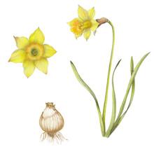 Isolated Botanical Illustratio...