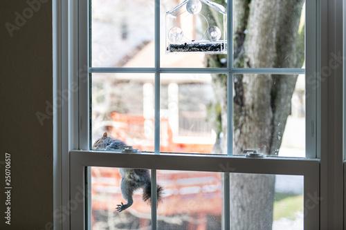 Foto op Plexiglas Eekhoorn Hungry, smart, intelligent squirrel climbing on window screen mesh to birdfeeder, empty bird feeder with sunflower, white seeds in cold winter sunny weather, Virginia