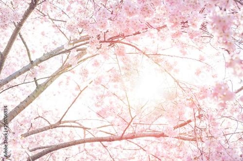 Photo  Looking up, low angle view of vibrant pink cherry blossom sakura tree, sunburst