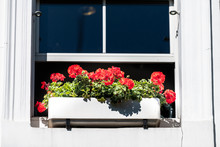London City Closeup Of Window And Red Green Geranium Flower Decorations Box On Sunny Summer Day And Nobody Architecture In Chelsea Kensington