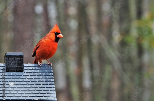 Photo A single male cardinal bird is perching on the roof of the feeder enjoy eating and watching  on soft focus garden background, Winter in Georgia USA