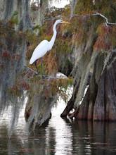 Great Egret In Lake Martin, Louisiana.