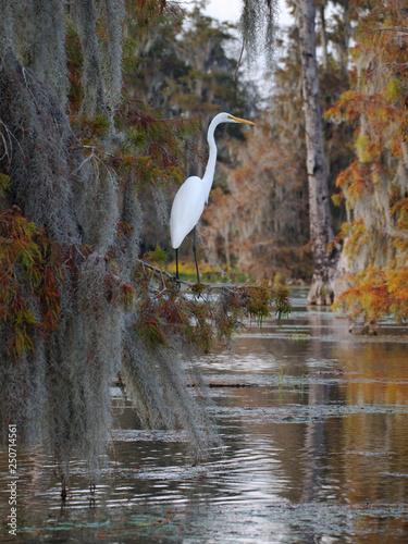Photo Great egret in Lake Martin, Louisiana.