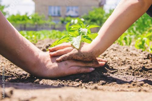 Fototapeta A child plants a plant in the garden. Selective focus. obraz na płótnie