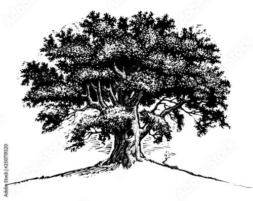 Fotografía Oak Tree