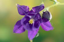 Purple Aquilegia With Bud In The Garden, Close-up. Granny's Bonnet, Columbine.
